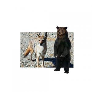 Coyote and Bear Pueblo Legend