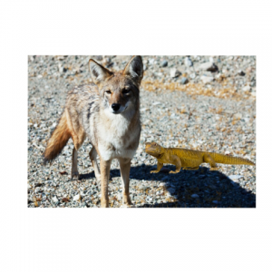 Coyote and Lizard Animal Legend